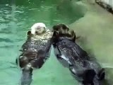 Otters holding hands @ Funny Animal Videos   Funny Pet Videos, Funny Cat Videos, Cute Pets