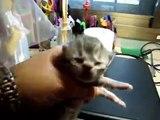 gatitos bebes persa 2 en venta.wmv