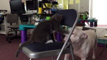 Cat fights with dog. Matsumoto the cat fighting with Tanka the Pit Bull. The Life of Matsumoto