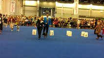 WDS 2014 The best Italian Greyhound males in Champion Class