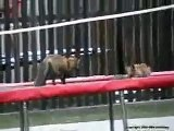 Foxes playing on a Trampoline