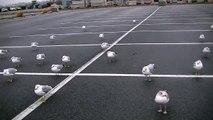 Seagulls Begging for Food