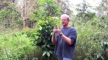 """ThruJimsEyes - COFFEE GROWING STAGE 1: """"Germinating Coffee Seedlings and Pruning"""""""