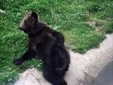 Un ours brun se gratte les fesses et ça fait rire les enfants