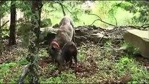 Dog Catches Armadillo
