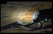 ʬ Dangerous Animals   MONITOR LIZARD VS  COBRA   Animals   Wildlife   Nature   360 MQ Discovery News