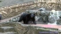 放飼場を歩き回るツキノワグマのソウ。多摩動物公園 ツキノワグマ ソウ Tama Zoological Park Japanese black bear