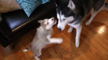 Mishka the Talking Husky, Laika the Husky, and Moki!