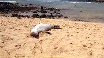Cute Hawaiian monk seal sleeping and dreaming