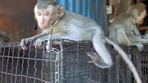 Baby monkeys for sale at the Bird Market (Pasar Burung), Denpasar, Bali
