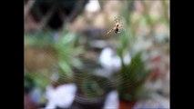 L'araignée Gipsy - Tisse sa toile