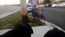 Rottweiler Vs Pitbull Attack,Rottweiler Vs Pitbull Fight Video