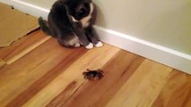 2 Cats 1 Crab Steve Irwin style kitten revenge