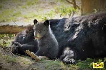 Oursons Baribal : Scène attendrissante dans la réserve