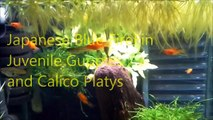 Time For Fry (Guppy, Endler, Platy, Formosa etc)