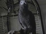 THE African Grey! Ruby, The swearing parrot. X Rated Parrot 42.