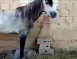 Le cri du cheval Arabe, le cheval de Djilleda  Ain Defla  Algérie 2 10 2008