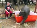 Bebê elefante cai na banheira