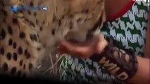 Cheetah attacked reporter. Cheetah attack the people! / Animal Attacks on Human - Nat Geo