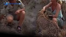 Cheetah attack the people! Cheetah attacked reporter / Animal Attacks on Human