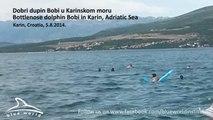 Solitary bottlenose dolphin Bobi, Adriatic Sea - Samotni dobri dupin Bobi, Karinsko more