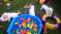 "Madness in the garden .... Puppies golden retriever at kennel ANIMALS TRIUMPH - litter ""D"""