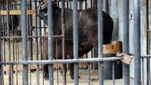 Kaapse buffel kalfje (Porthos) ZOO Antwerpen / Cape buffalo calf ZOO Antwerpen