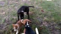 Kaya  (Akita Inu, 9 weeks) playing at the dog park - 4 - Basset hound friend to the rescue!