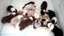 La premiére pâtée des bébés bergers australien