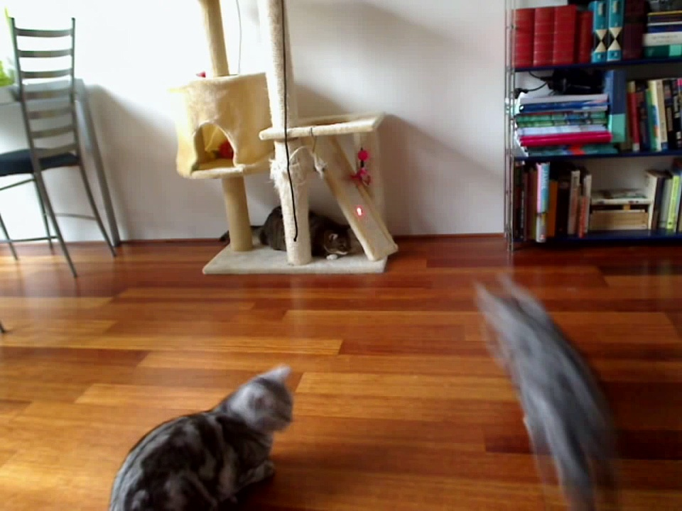Cats playing with laser pointer