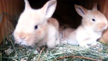 3 Week Old Fawn Flemish Giant Baby Bunnies
