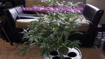 600 watt HPS Grow Tent Marijuana Hydroponics Purple Jems #2 Buds Auto Flower weed indoor
