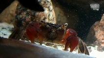 Red Clawed Crab (Sesarma bidens) - Look at the ... - Animalia Kingdom Show