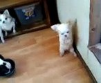 犬のチワワの変な癖??