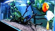 Red Yellow White Diamond Blue Discus Planted Aquarium Tank. CF500 Filter LED Light.