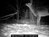 Whitetail Deer Buck - Trail Camera Footage