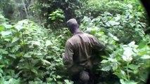 Wild Mountain Silverback Gorillas Encounter in the Bwindi Impenetrable Forest