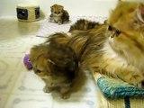 """Cute Persian kittens - """"H"""" Litter - 05.14.10"""
