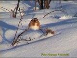 STEGLITS European Goldfinch (Carduelis carduelis)  Klipp - 80