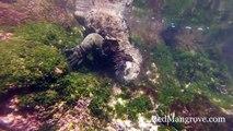 Galapagos Marine Iguana Feeding Underwater on Floreana Island