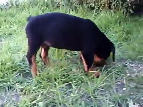 Lenon cachorro rottweiler y el pasto