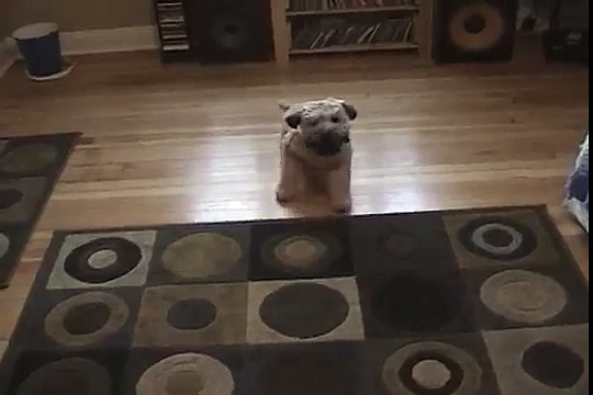 Soda – Wheaton Terrier