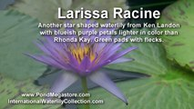 Waterlily Larissa Racine, pond plants, water garden flowers