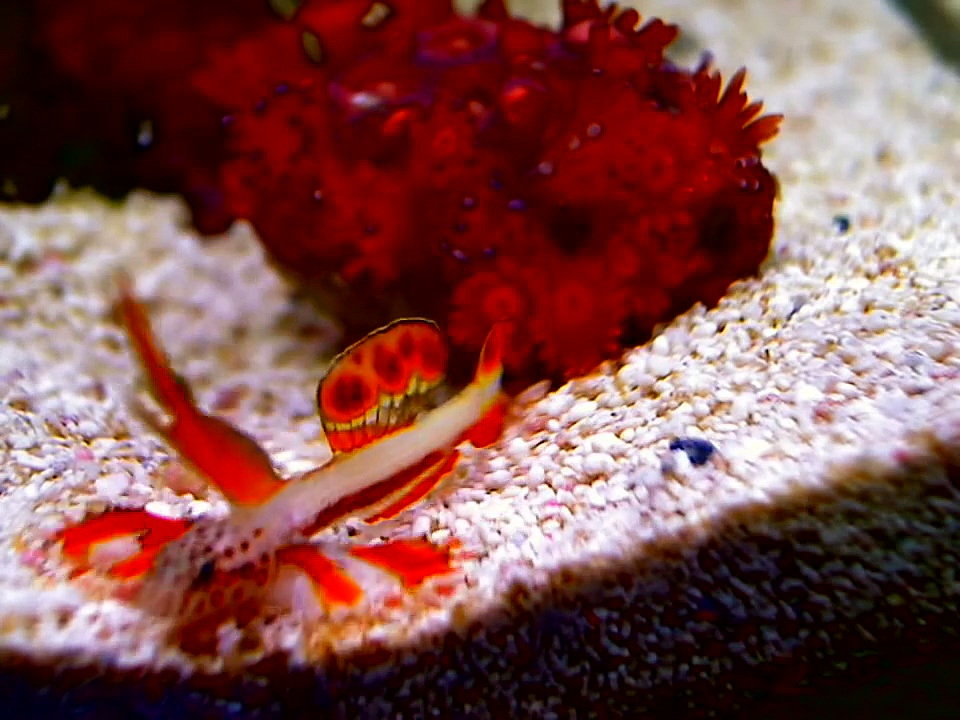 Flaming Prawn Goby new vids