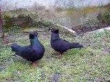 SESSO TRA COLOMBI (pigeon sex) sottobanca neri 2011