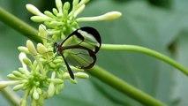 """Greta oto, a beautiful Glasswing  butterfly - Greta oto, la mariposa de """"alas de cristal"""""""