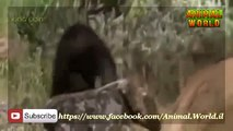 Documentary National Geographic   WildLife Animals Grizzly Bear Vs Wolf mp4