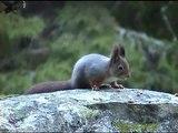 EKORRE  Red Squirrel  (Sciurus vulgaris)  Klipp - 767  S/U - Klipp