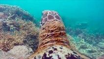 Découvrir la grande barrière de corail à travers les yeux d'une tortue - Magique