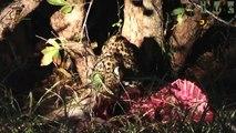 Leopard Cub Eats An Impala